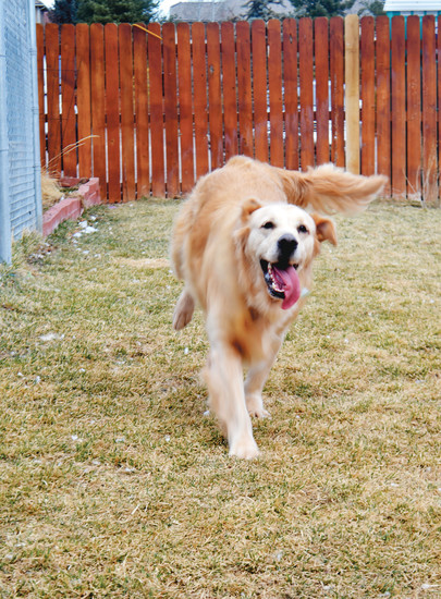 Running around with nothing but pure joy, Keystone, a three-year-old forest rescue from Istanbul, happily plays in his temporary home at the Golden Retriever Rescue of the Rockies.
