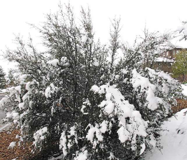 Heavy snow over the weekend has damaged flowering trees throughout the front range. Lone Tree City Forester Julius Zsako recommends pushing up on branches with a broom to gently remove snow from tree branches.