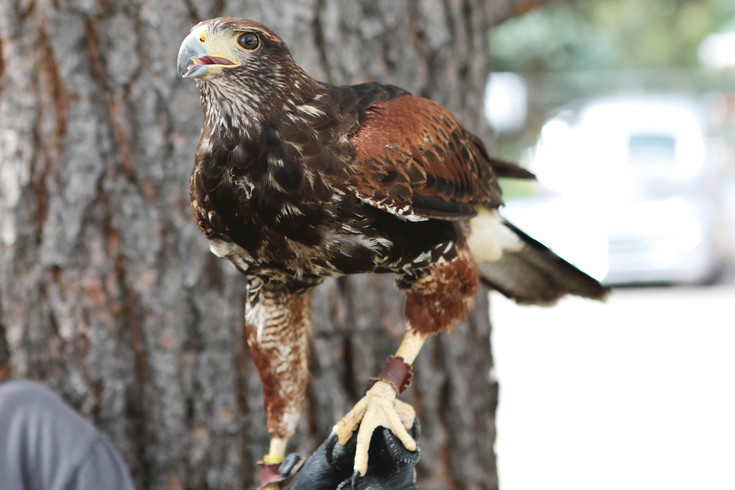 Hawk Quest returned to the Kiowa Street fair with this Harris Hawk and two other birds of prey. Native Americans called the Harris Hawk Wolves of the sky because they hunt in groups.
