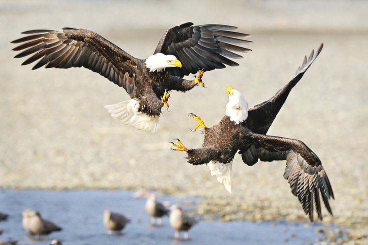 Matt Shetzer's pair of contentious eagles illustrates his skill at photographing raptors, among the wildlife photography topics which he will discuss for the Englewood Camera Club when members meet at 7 p.m. on Jan. 10 at Lutheran Church of the Good Shepherd, 6400 S. University Blvd., Centennial.