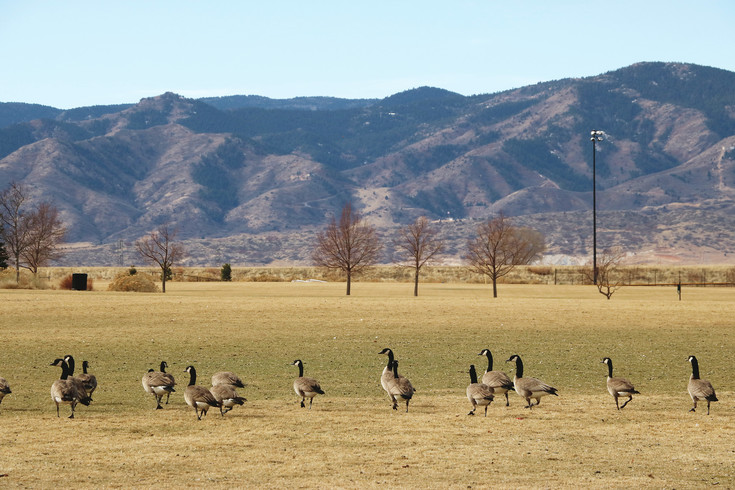 Redstone Park in Highlands Ranch has a pond and open space making it a suitable place for geese to dwell.