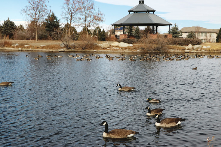 Dozens of geese take a swim at a pond at Redstone Park in Highlands Ranch.