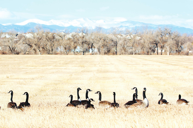 Canadian geese rest up on Feb. 6 in a field at Preservation Park in Parker. The geese feed on grass, sedges and berries and their droppings can create a nuisance on trails, sidewalks and yards in the metro area.