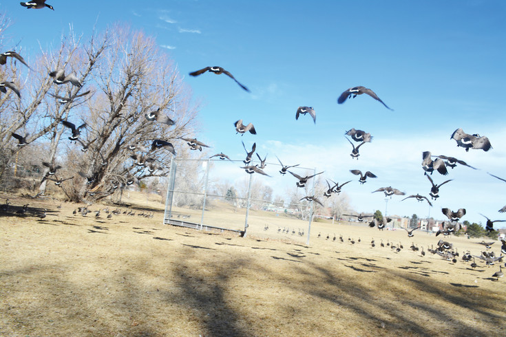 A gaggle of geese takes to the sky at Bowles Grove Park in Littleton.
