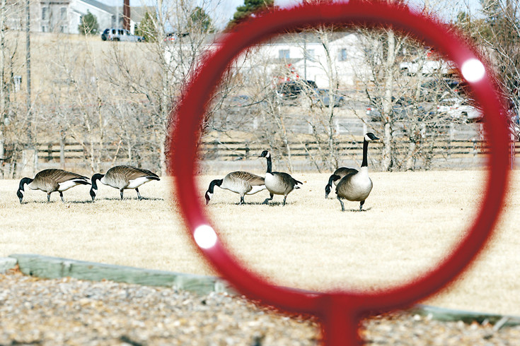A gaggle of geese gather and graze near Iron Horse Elementary School in Parker on Feb. 6. Canadian geese such as these typically have a wingspan of 4 to 6 feet and a life expectancy of 10 to 24 years.