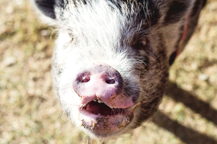 On March 1, Resolute Brewery was overrun with pigs from Pig Haven Farm for National Pig Day. The holiday is created to celebrate pigs. All pigs visiting from the farm were rescued from neglect or abuse situations.