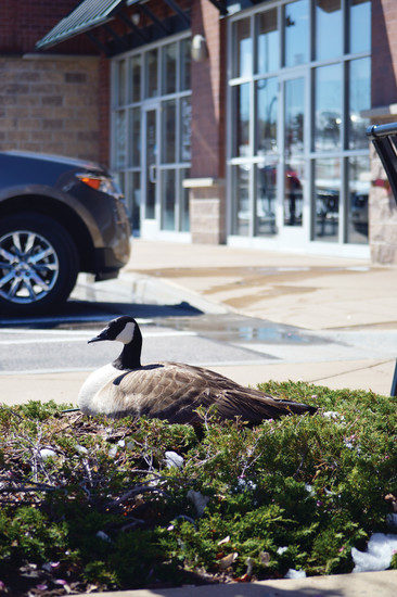 "A female Canada goose sits on her nest, which happens to be located in the middle of a 120th Avenue parking lot in Westminster. Neighboring shop owners say it's the fourth year the goose, whom they've dubbed ""Gracie,"" and her gander Gary have chosen this lot as the place to raise their young."