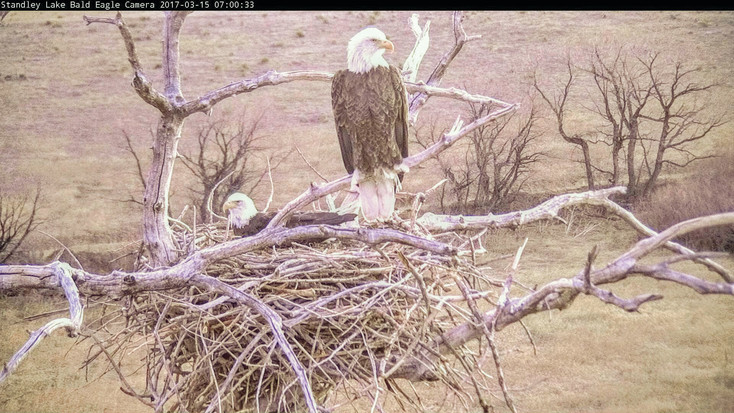 A pair of eagles await their brood in this image captured from the city of Westminster's live Eagle Cam. The city's camera, linked live to the Internet, has proven to be a popular site for visitors and would-be eaglet viewers.