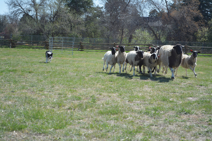 Gibbs the border collie herds sheep at the Sheep to Shawl demonstration at Littleton Museum on April 15.