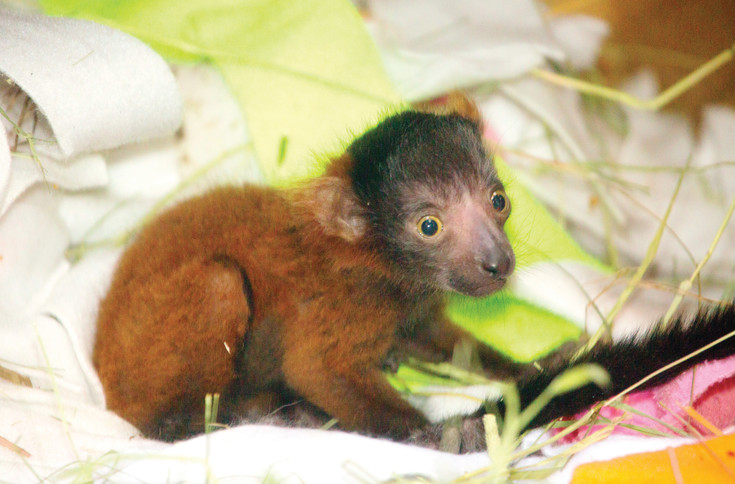 Penny, a female red-ruffed lemur, was born April 25 at the Denver Zoo. Zookeepers say she is doing well and visitors can now see her.
