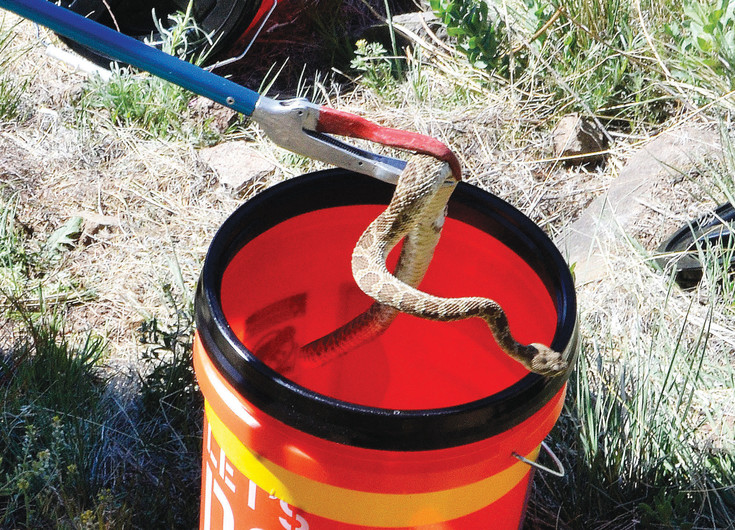 A snake is pulled out of a bucket Saturday, May 6, on North Table Mountain in Golden. The snake was being returned to where it was found after a microchip was placed in it to track it for research.