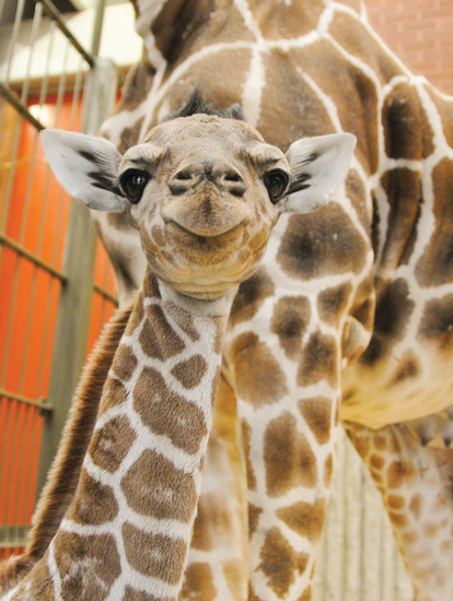 A smiling baby giraffe, Dobby, will be on hand with his mom to greet visitors at Do at the Zoo on June 15.