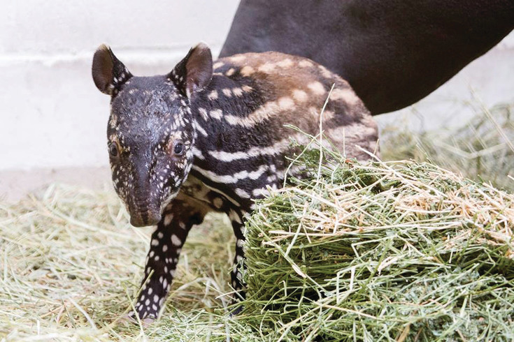 Umi, a baby tapir will be wearing polka dots and stripes to greet people at Do at the Zoo on June 15.