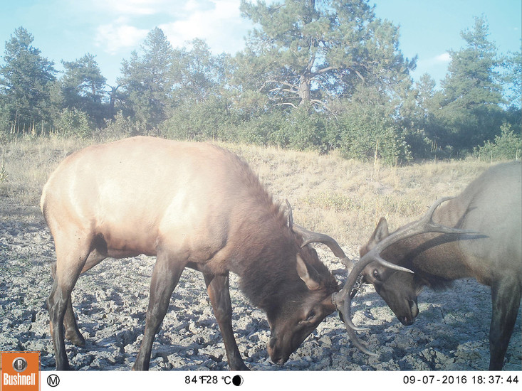 Elk are among many wild animals caught on camera in the Backcountry. The Highlands Ranch Community Association is using technology to track population, health and behavior of wildlife in the open space south of the community.