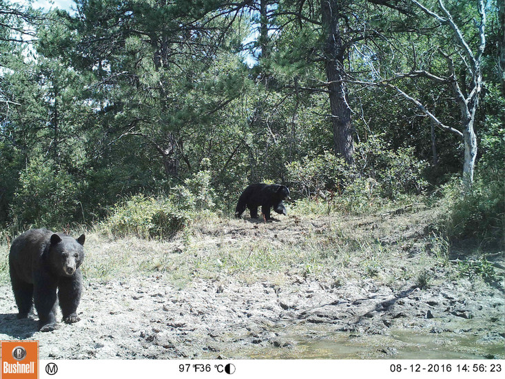 Two black bears are caught on camera roaming along the Backcountry. The Highlands Ranch Community Association Backcountry Wilderness Area invested in several cameras earlier this year to track wildlife patterns.