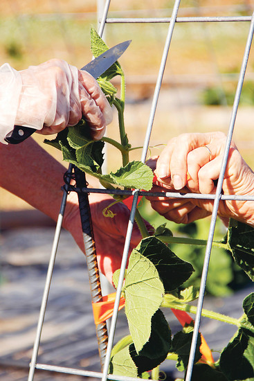 Margaret Hayward and Brigitte Parker join forces to tie pumpkin vines to a vertical trellice at the Hidden mesa Research Orchard in Franktown. The women each say they love volunteering in a way that has tangible benefits for less fortunate individuals, and they both love the fresh air and sunshine at the orchard.