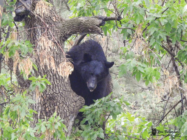 This bear was seen in a neighborhood on Bowles Avenue in south Jefferson County near Littleton on July 6.