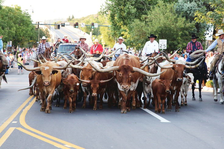 Steer are driven through Castle Rock during last year's Western Heritage Welcome. This year's event will be July 28.