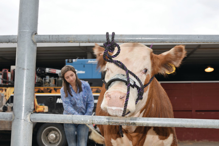 Christina Weakley, 16, of Byers, washes Tytaynium, her  1 ½ year-old Hereford heffer, in advance of competition at the 2016 Adams County Fair last year. The fair returns to Brighton Aug. 2-6, with more livestock contests, live music and family-style games