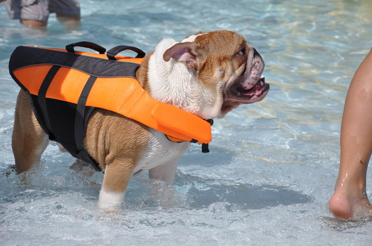 Pup-preserver: An English Bulldog, a breed not normally known for their fondness for water, sports a nifty life preserver as it splashes in the Thornton City Pool at last year's Paws for a Dip. The city is hosting the event again Aug. 19, opening the pool to dogs and their humans for the day.
