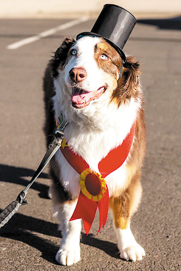 Toby, the inspiration behind the Toby's Pet Parade & Fair, enjoys the inaugural event last year. The 10-year-old Australian Shepherd was brought to the shelter malnourished and dehydrated in April 2015. After several months in foster care, Toby was adopted by a staff member, and he became the official mascot of Foothills Animal Shelter.