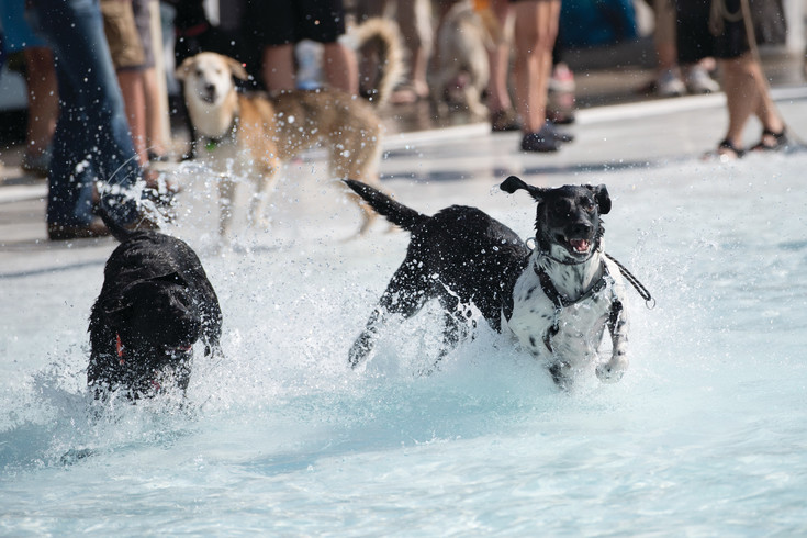Hundreds of dogs of all shapes and sizes filled the Cook Creek Pool on Saturday for the City of Lone Tree's end of season Wag-n-Romp event.  Furry friends were able to enjoy the pools before they closed for the season.