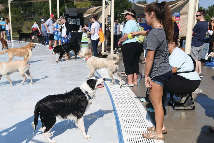 """Tuxedo"", a Border Collie from Centennial waits for the throw form his owner Shelby Miyazaki.  Hundreds of dogs of all shapes and sizes filled the Cook Creek Pool on Saturday for the City of Lone Tree's end of season Wag-n-Romp event.  Furry friends were able to enjoy the pools before they closed for the season."