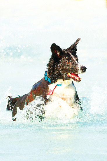 A four-legged Michael Phelps takes a lap at H2O'Brien Pool at the 2017 Barker Days event. More than a thousand dogs took over the pool and baseball fields at O'Brien Park for the annual event.