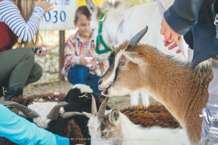 One of the features of Thornton's Maize in the City is a petting zoo for guests and explorers.