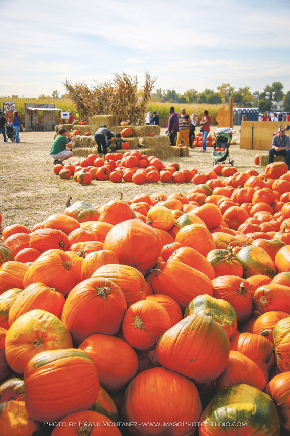 Visitors to Thornton's Maize in the City can pick up their pumpkins after exploring the maize.