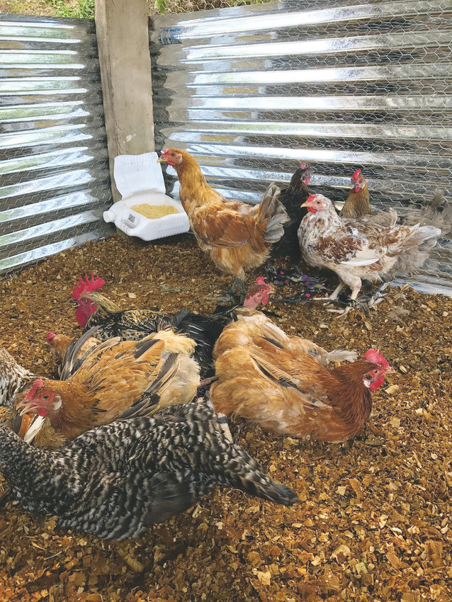 Chickens provided a poor family in the mountains of Honduras by Project Poultry explore their new coop home. Project Poultry was established by Parker businessman Lanny York as a means to help families improve their quality of life.