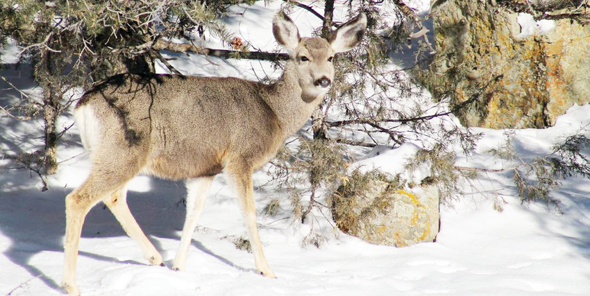 As fall and winter progress, deer will continue to move to lower elevations in search of food and water sources.