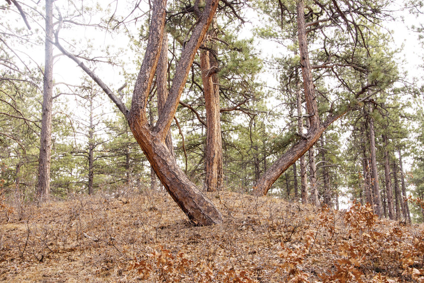 This pair of trail marker trees, bent by indigenous people believed to be Utes, grows on the back side of Dawson Butte Ranch Open Space Trail, near Castle Rock.