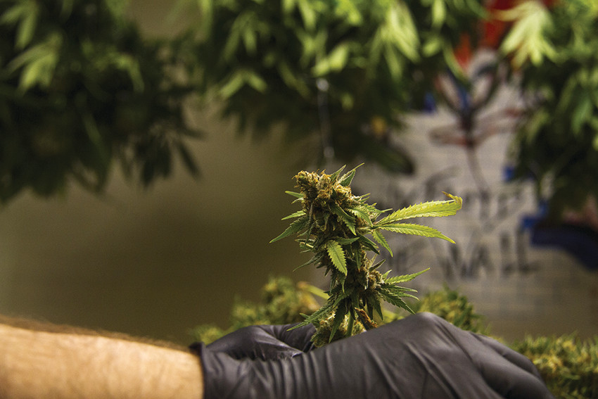 A trimmer works at a marijuana grow facility in Denver.