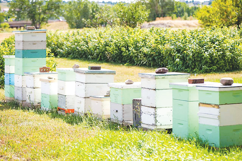 Colorado Hemp Honey founder, Nick French, keeps bee hives all along the Front Range, providing safe havens for bees, and using their honey to help others.