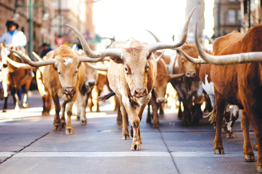 The National Western Stock Show Parade takes to the streets of Denver on Jan. 4.