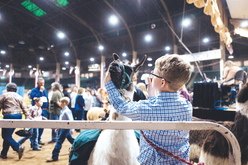 A youngster applies the final touches before the Junior Llama Show.
