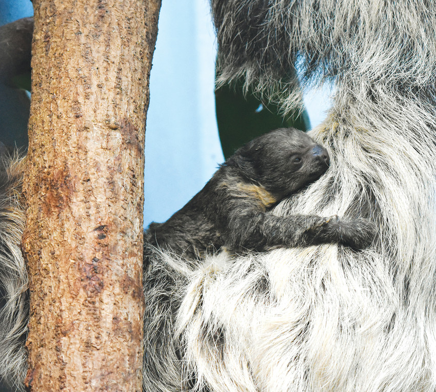 The baby Linne's two-toed sloth clung to mom immediately after birth and will remain attached to her almost exclusively for at least six months.