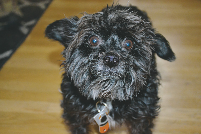 Biki, John Flanagan's Yorkie Poodle mix, was killed Dec. 29 by a much larger dog.
