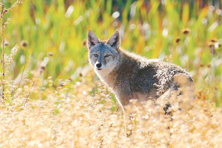 A coyote watches from among the brush along Dry Creek. Local experts urge residents whose homes border coyote country not to be shy but to make noise, throw rocks and harass the animals to keep them away from their property and their pets.