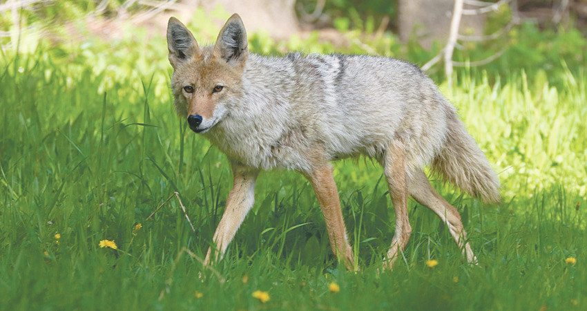 Coyotes have always been in the city, but reports of conflicts with both pets and their owners are on the rise, according to a meeting officials from the Westminster Open Space.