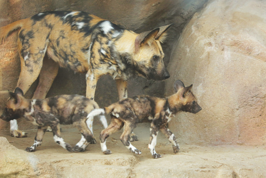 For three months, the endangered African wild dog puppies have been in their private maternity den with their mother, Tilly. Keepers say the three male puppies and one female puppy are healthy, curious and playful.