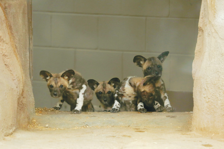 Four endangered African wild dogs were born in November at the Denver Zoo. The puppies made their public debut Feb. 16 in Benson Predator Ridge.
