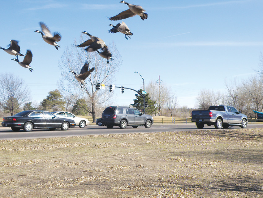 Geese alight from Bowles Grove Park, adjacent to the intersection of Federal Boulevard and Bowles Avenue. The intersection is slated for big changes this year thanks to taxpayers allowing the city to keep excess revenue.