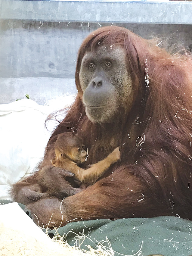 A newborn female Sumatran orangutan was born March 25 at the Denver Zoo. Cerah was born to mom Nias and dad Berani, and both mom and baby are in good health.