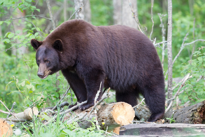 Black bears are the only bears found in Colorado. Shutterstock image