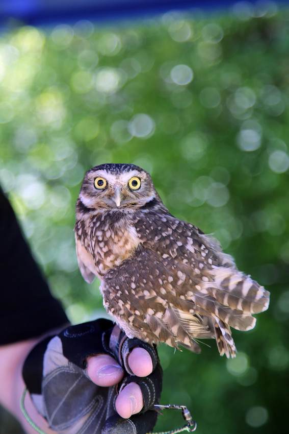 The burrowing owl is one of the bird Nature's Educators brought to the event at Two Ponds. This owl is native to Colorado and lives alongside prairie dogs.