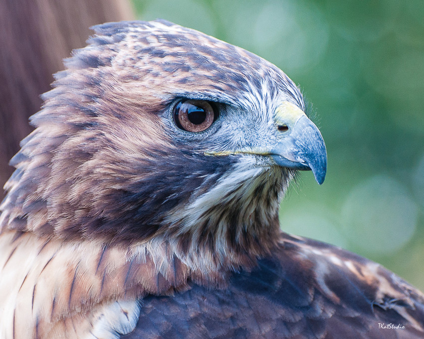 """Red Tail Hawk"" by Tim Kathka of the Englewood Photography Club, where a live bird of prey will visit June 12."