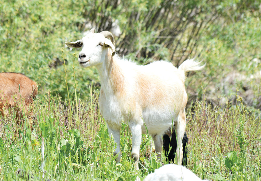 A nanny goat loudly warns her herd-mates to stay away from her newborn kid June 6 at Standley Lake Regional Park. Both mother and child are part of a weed-clearing herd currently living on the land around Standley Lake.