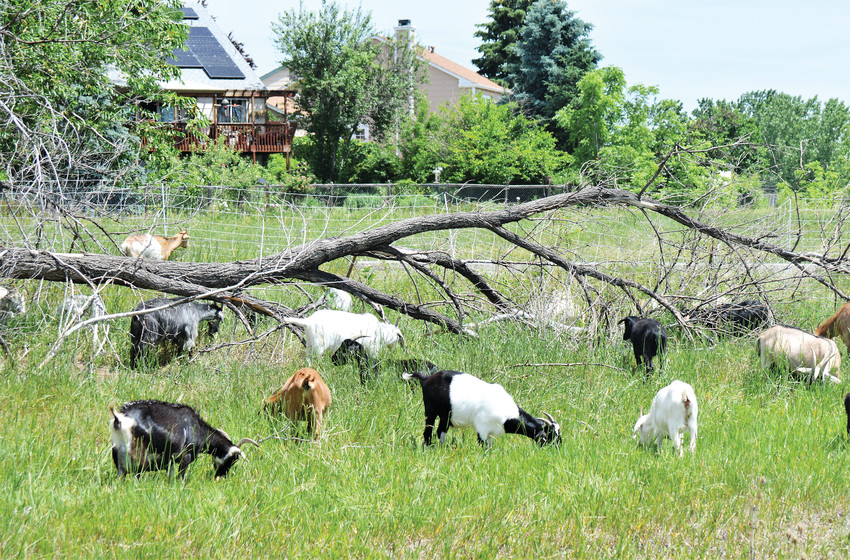 Some of the more than 300 goats browse along the northern edge of Standley Lake Regional Park, eating weeds. Since herbicides and weed killers can't be used around Standley Lake, city officials rely on annual visits from the goat herd to cut back on invasive plants and weeds.